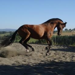 Cheval de spectacle en liberté / © A. Picq